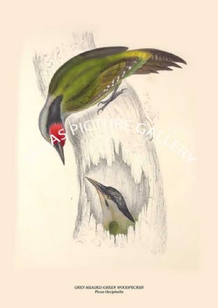 GREY-HEADED GREEN WOODPECKER - Picus Occipitalis